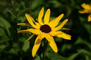 Black-Eyed Susan Daisy on Grandfather Mountain